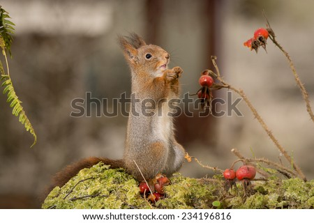 squirrel standing on tree and behind are branches with ice, thorns and brier  - stock photo