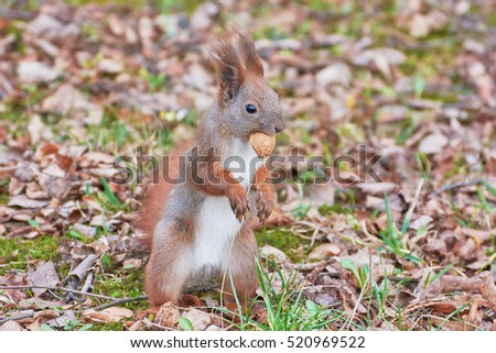 Squirrel standing with nut in his mouth.
