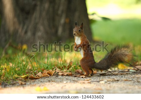 squirrel stands on path in park in autumn