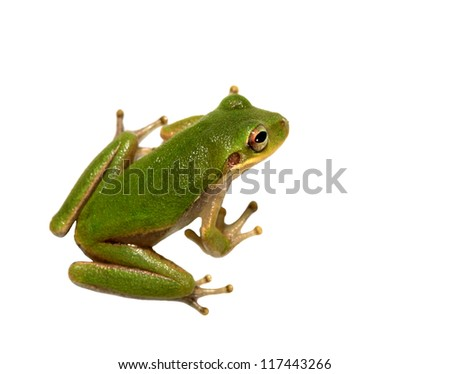 Squirrel Tree Frog Closeup Isolated om White - stock photo