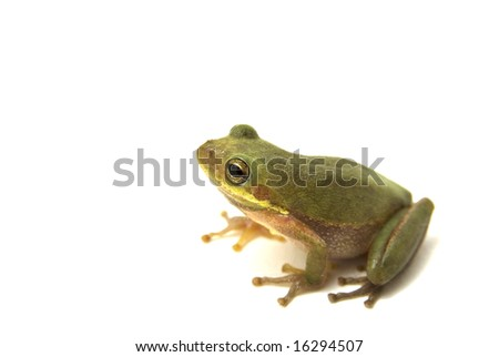 Squirrel Tree Frog (Hyla squirella) isolated on white background - stock photo