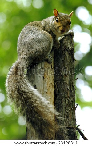 Squirrel watching on tree stump - stock photo