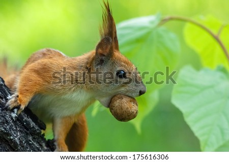squirrel with a nut in his mouth on the tree - stock photo