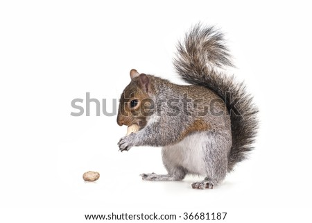Squirrel with a peanut - stock photo