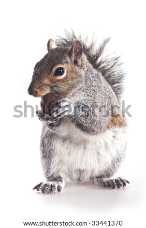 Squirrel  with a wood nut - stock photo
