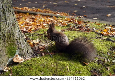 Squirrel with black fur and fluffy tail sitting in a clearing among the yellow leaves
