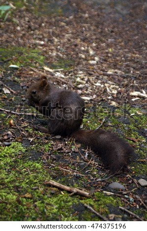 Squirrel with dark fur sitting on a moss -covered path in the park