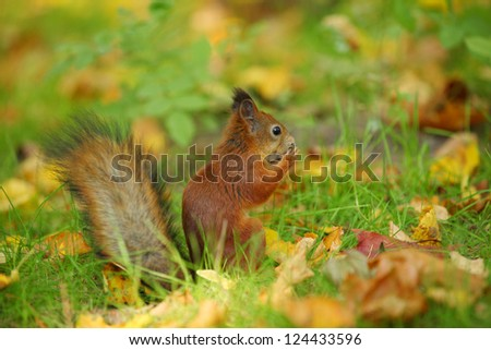 squirrel with nut in grass in park in autumn