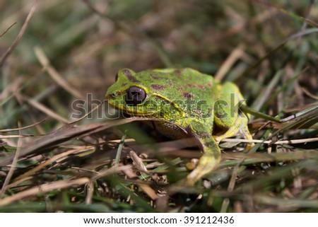 Sri Lanka tree frog at the top of Kirigalpoththa mountain - stock photo