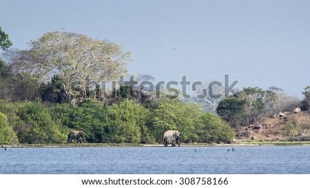 Sri Lankan elephant in Arugam bay lagoon, Sri Lanka ; Subspecie elephas maximus maximus ; Sri lankan elephant - stock photo