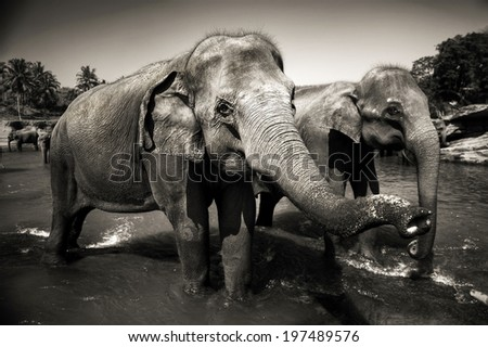 Sri Lankan elephants.