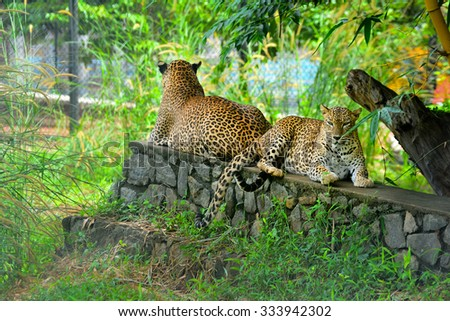 Sri Lankan Endemic Leopard At Pinnawala Open Air Zoo. The Population Of Sri Lankan Leopard Is Believed To Be Declining Due To Numerous Threats And No Subpopulation Is Larger Than 250 Individuals - stock photo
