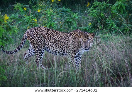 Sri Lankan Endemic Leopard - Panthera Pardus Kotiya. The Population Is Believed To Be Declining Due To Numerous Threats And No Sub population Is Larger Than 250 Individuals (With Instagram Effect) - stock photo