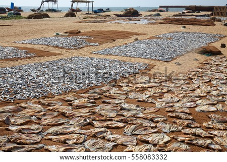 Sri Lankan traditional method of drying fresh fish on the beach. Fish catch is put on the linen exposed to tropical sun.