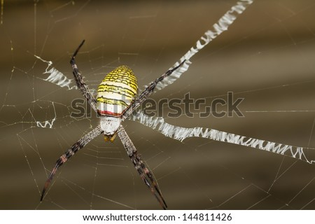 St. Andrew's Cross (Argiope) spider rests on its web - stock photo
