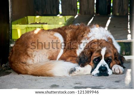 St. Bernard dog on a break - stock photo