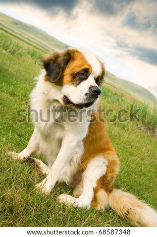 St. Bernard dog sitting on the alpine meadow - stock photo