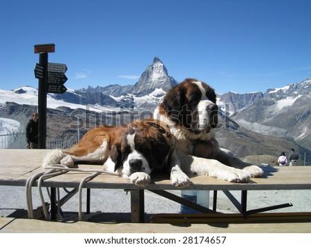 St. Bernard dogs resting nearby the Matterhorn on the Gornegrat mountain - stock photo