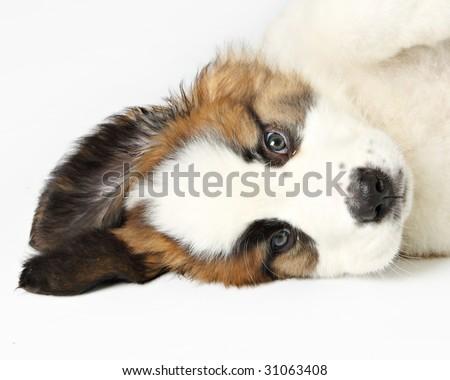 St. Bernard Puppy, - stock photo