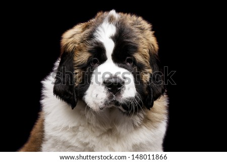 St Bernard puppy close up portrait isolated on a black background - stock photo