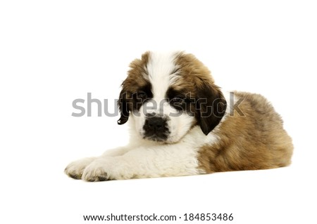 St Bernard puppy laid isolated on a white background - stock photo