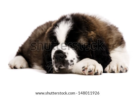 St Bernard puppy laid sleeping isolated on a white background - stock photo