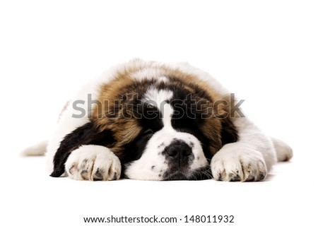 St Bernard puppy laid sleeping isolated on a white background