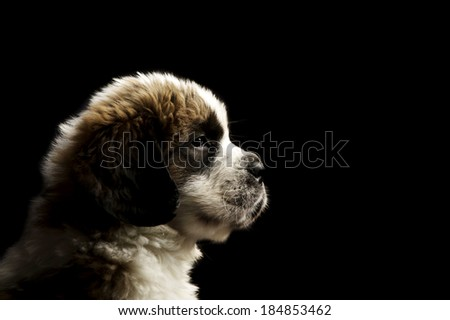 St Bernard puppy sat isolated on a black background