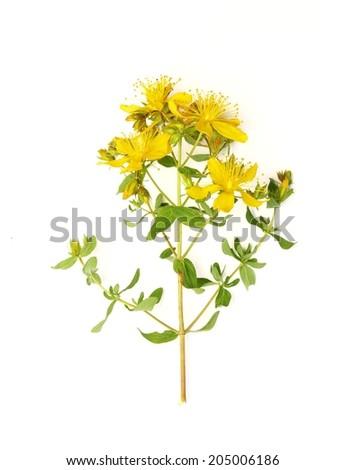 St John's wort flowers (Hypericum perforatum) isolated on white - stock photo