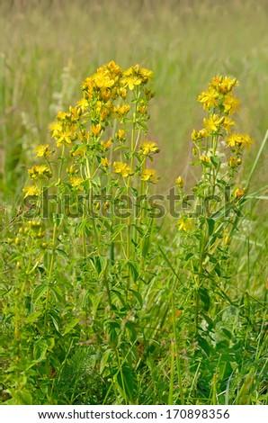 St. John's wort (Hypericum perforatum) flowers on meadow - stock photo