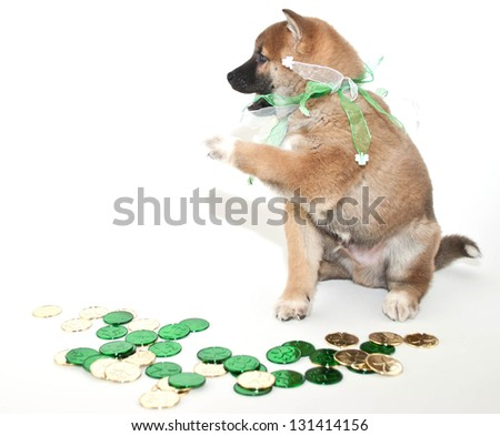 St. Patrick's Day puppy that looks like he is saying leave my money alone! - stock photo