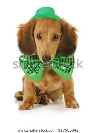 St. Patricks Day dog - long haired dachshund wearing green hat and bowtie sitting on white background - stock photo