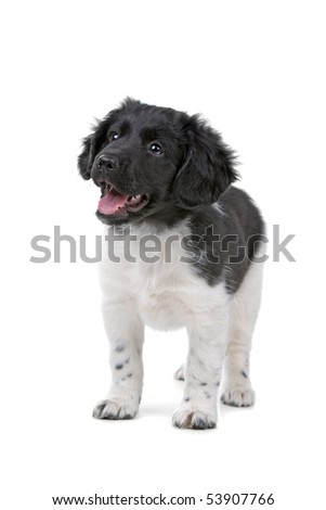 stabyhoun puppy isolated on a white background - stock photo