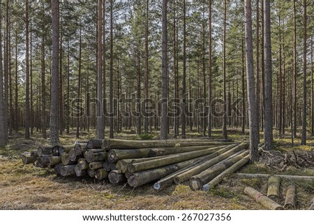 Stack of logs in pine forest