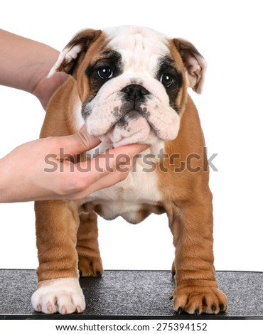 stacking show puppy - bulldog female three months old
