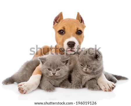 stafford puppy embracing two kittens. isolated on white background - stock photo