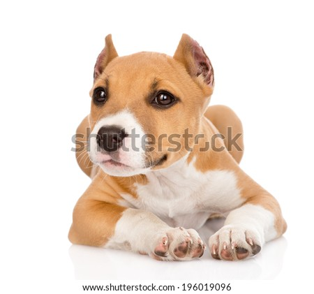 stafford puppy lying in front. isolated on white background - stock photo