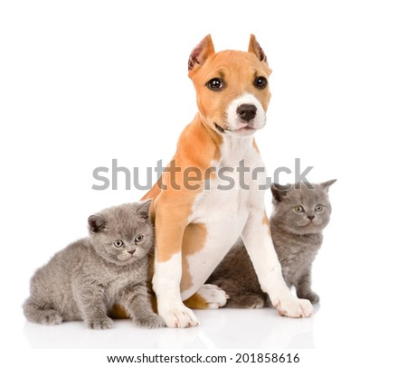 stafford puppy with kittens. isolated on white background