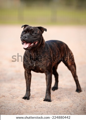 Staffordshire bull terrier.  - stock photo
