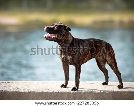 Staffordshire bull terrier. Active dog. Doggie on walk. - stock photo
