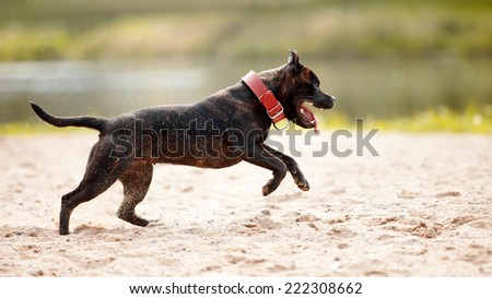 Staffordshire bull terrier. Bull terrier in a red collar. Active dog. Doggie on walk. - stock photo