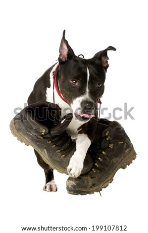Staffordshire Bull Terrier carrying muddy walking boots running and jumping towards the camera isolated on a white background - stock photo