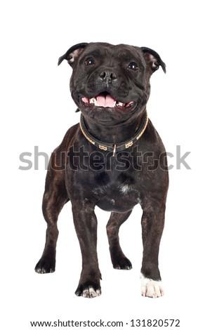 staffordshire bull terrier dog - stock photo