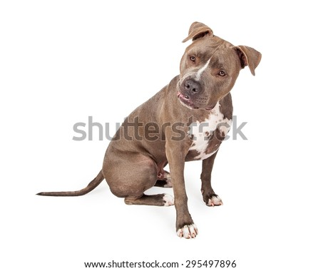 Staffordshire Bull Terrier Dog sitting while looking off to the side.