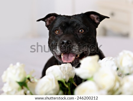 Staffordshire Bull Terrier in front of a white background - stock photo