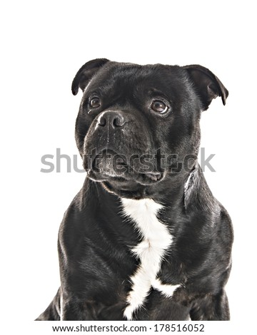 Staffordshire Bull Terrier isolated on White