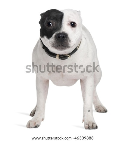 Staffordshire Bull Terrier, 7 months old, standing in front of white background - stock photo