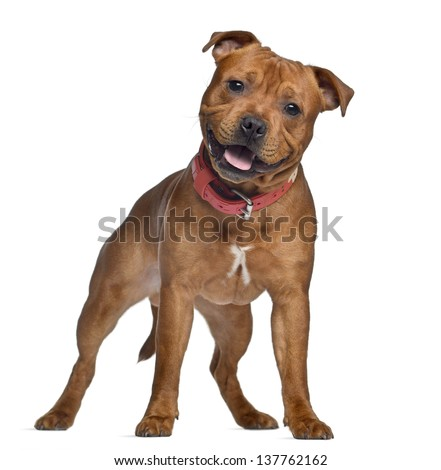 Staffordshire Bull Terrier, 9 months old with red collar, standing, isolated on white - stock photo