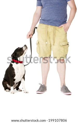 Staffordshire Bull Terrier on lead sat next to owner looking up at them - stock photo