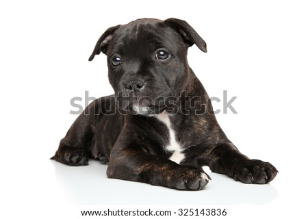 Staffordshire bull terrier puppy lying in front of white background - stock photo